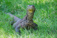 Komodo dragon in the grass