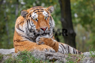 Tiger lying on the ground in safari.