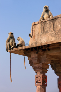 Gray langurs (Semnopithecus dussumieri) sitting at Ranthambore Fort, India