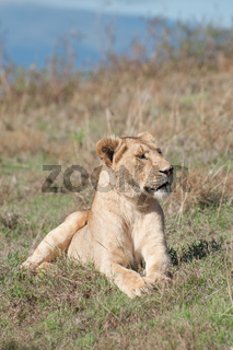 Lioness Lying Down