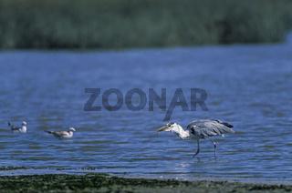 Graureiher erbeutet einen Flussaal auf einer Schlammbank der Elbe - (Fischreiher) / Grey Heron captures a River Eel on a mudflat at the river Elbe - (Gray Heron) / Ardea cinerea - Anguilla anguilla