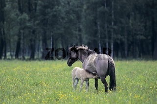 Konik - Stute saeugt Fohlen auf einer Wiese mit Hahnenfuss - (Waldtarpan-Rueckzuechtung) / Heck Horse mare lactating foal on a meadow with Buttercup - (Tarpan-breeding back) / Equus ferus caballus - Equus ferus ferus