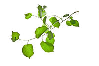 Thin-twig-with-rounded-green-leaves-isolated-on-white-background