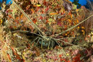 Panulirus versicolor, Vielbarbige Languste, Malediven, Painted Spiny Lobster, Maldives