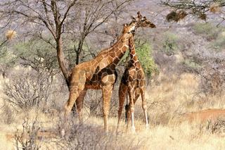zwei Giraffen schmiegen sich aneinander