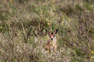 Curious but shy Jackal