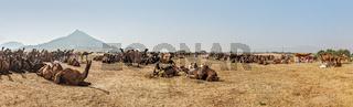 Panorama of camels camp at Pushkar Mela (Pushkar Camel Fair). Pushkar