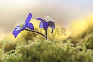 Die ersten Leberblümchen (Hepatica nobilis)