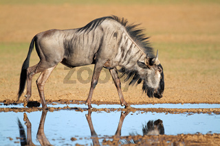 Blue wildebeest at waterhole