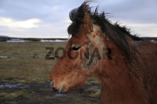 Islandpferd verliert Winterfell