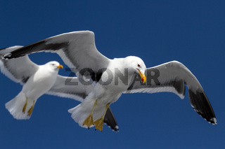 kelp gull which hangs in the air wings spread in Antarctica