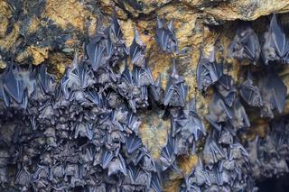 hunderte Fledermäuse in einer Höhle direkt über dem Altar des Fl