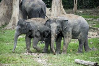 elephants in Malaysia Kuala gandah