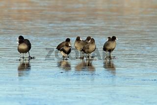 flock black coots on frozen surface