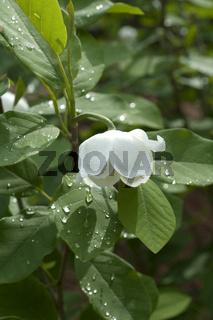 Sommer-Magnolie, Siebols, Magnolie,