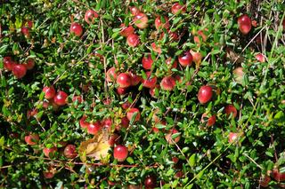 Vaccinium oxycoccos, Moosbeere, Cranberry