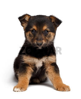 puppy mixed-breed  sheep-dog with pooch