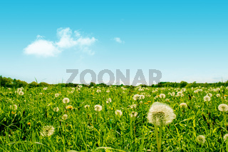 Green field with fluffy dandelion flowers