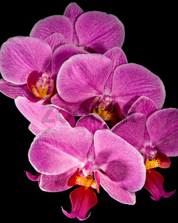 Orchideen in Pink