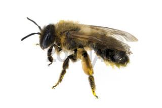 Biene, Pollen