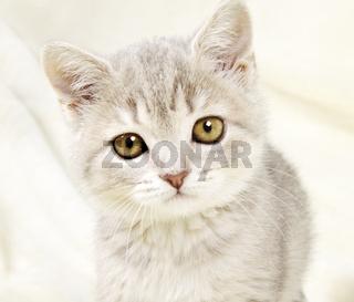 Kitten Scottish Straight