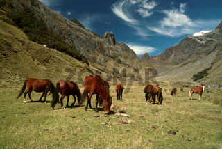 Horses grazing in scenic green valley between high mountain peaks in Peruvian Andes