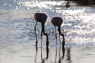 trinkende flamingos
