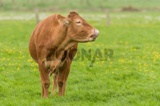 Limousin: Nase-Putzen