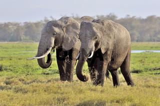 Elefanten in Amboseli, Kenia