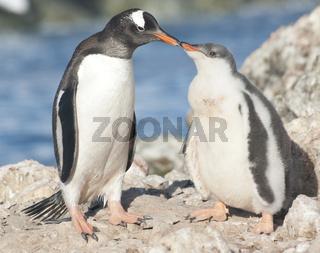 Gentoo penguin chick feeding.