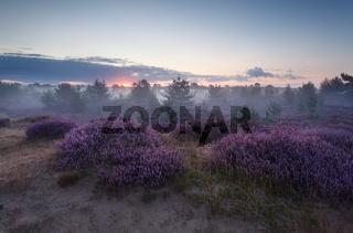 calm foggy sunrise over flowering heather