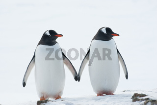 Two penguins Gentoo.