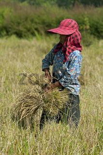 Landarbeiterin zur Ernte auf einem Reisfeld