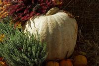 weißer Kürbis mit Heide - Cucurbita