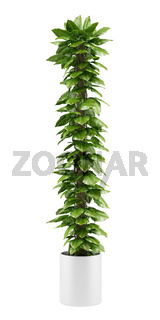 climbing houseplant in pot isolated on white background