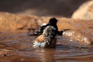 Swainsonsperling (Passer swainsonii)