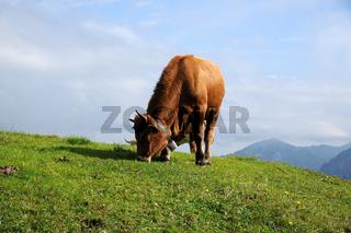 Bos primigenius, Jungochse, Young ox