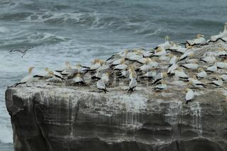 Basstoelpel Muriwai Beach, Neuseeland