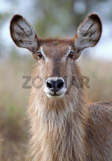 Wasserbock, Waterbuck, Kobus ellipsiprymnus, Südafrika, wildlife, Kruger Nationalpark