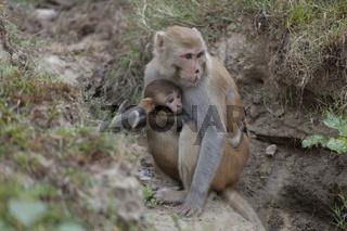 Makaken (Macaca), Corbett Nationalpark