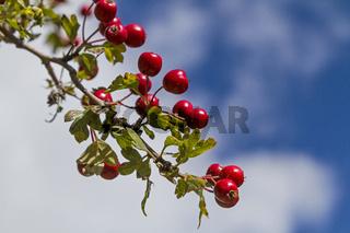 Weißdornfrüchte