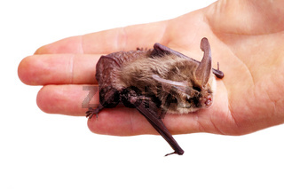 long-eared bat on hand