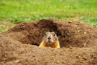 Präriehund / Prairie Dog  (Cynomys)