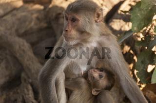 Makaken (Macaca), Nordindien
