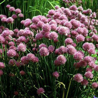 Schnittlauchblueten, Allium, schoenoprasum