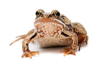 Rana temporaria. Grass frog on white background.