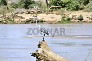 Graureiher auf seinem Aussichtspunkt am Fluss