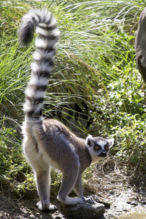 ring-tailed lemur who stands on the shore of lake its tail raised