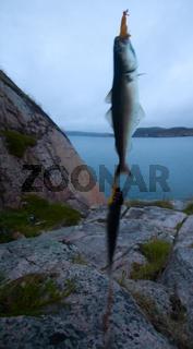 haddock on a rod night sea fishing in Scandinavia