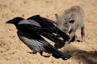 Baby Warzenschwein und Vogel
